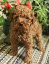 12 weeks old Toy Poodle Pups *Trained*