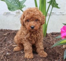 Beautiful Toy Poodle Puppies Available ,