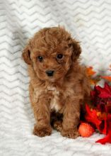 Beautiful Toy Poodle puppies for adoption~non sheddin