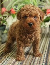 TOY POODLE PUPPIES READY TO GO TO THEIR NEW HOME