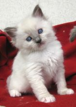 CHARMING T.I.C.A MALE AND FEMALE RAGDOLL KITTENS