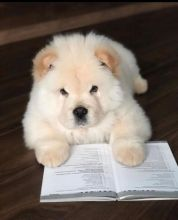 🐶🐶 LOVELY CKC ✔✔ 2021 ✔✔ CHOW CHOW PUPPIES 🐶🐶 Image eClassifieds4U