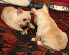 🐶🐶 AFFECTIONATE CKC ✔✔ 2021 ✔✔ FRENCH BULLDOG PUPPIES 🐶🐶