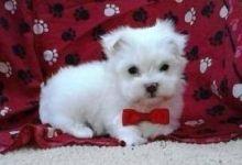 Teacup Maltese Pups for Adoption