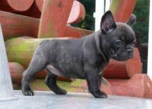 Teacup Maltese Pups for Adoption Image eClassifieds4U
