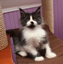 Adorable 12 weeks old Maine Coon kittens available.