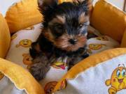 Charming Male and Female Yorkie Puppies Ready For a New Home Email@(lucassmoonray23@gmail.com)