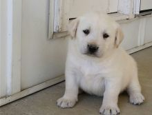 Adorable and playful Labrador retriever puppies.
