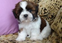Affectionate shih tzu puppies,