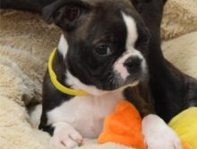 Amazing Boston terrier puppies available.