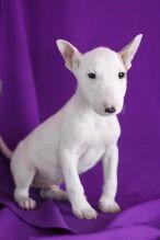 Beautiful White Bull terrier puppies.