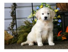 Cute male and female Golden retriever Puppies available.