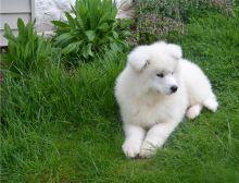 Cute Samoyed puppies