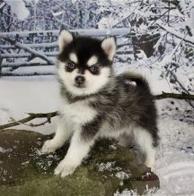 Lovely Male And Female Pomsky Puppies