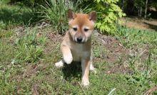 Lovely Shiba Inu Puppies.