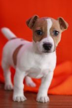 Potty trained Jack russel terrier puppies,