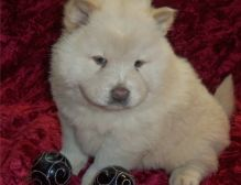 Sweet and affectionate Chow Chow puppies.