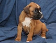 Very cute, social and lovely Boxer Puppies,