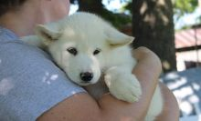 Well Trained Alaskan Malamute puppies.