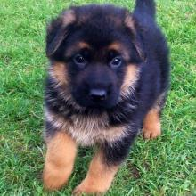 Well Trained German shepherd Puppies available Image eClassifieds4u 3