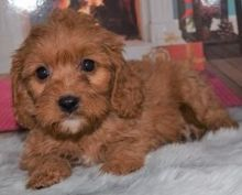 Amazing Toy poodle puppies