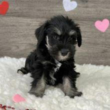 Cute Miniature Schnauzer puppies for adoption,