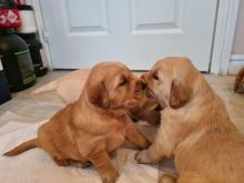 Healthy, home raised Golden Retriever puppies for adoption.