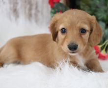Male and Female Dachshunds puppies for adoption.