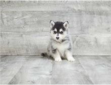 We got two Pomsky puppies.