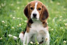 we have two lovely adorable Beagle puppies.