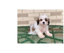 We have 12 weeks old, adorable Lhasa Apso puppies