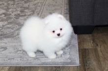Cute and Affectionate lovable Male and female tinny teacup Pomeranian puppies available