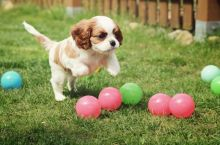 Excellent cavalier king charles spaniel puppies for adoption Email US(christjohnson204@gmail.com )