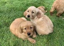 Well trained Golden Retriever puppies for adoption Email US (christjohnson204@gmail.com )