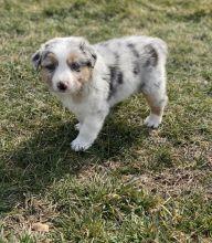 Australian Shepherd Puppies for Sale Text +1 (516) 262-6359