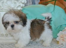 Shih Tzu Puppies For Sale Text +1 (516) 262-6359