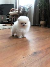 Pomeranian puppies very special dog