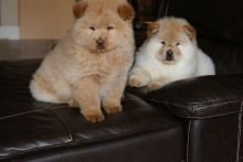 HEALTHY CHOW CHOW PUPPIES Available