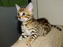 ADORABLE MALE AND FEMALE BENGAL KITTENS FOR ADOPTION