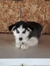 Gorgeous Siberian Husky Puppies for Adoption