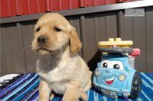 stunning golden retriever puppies ready