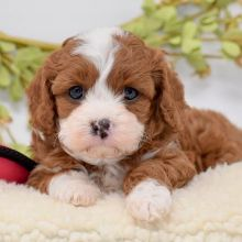 Awesome Cavapoo puppies given frelly