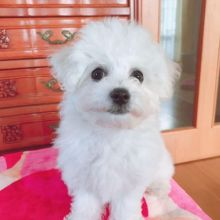 beautiful Bichon frise puppies ready for a new home