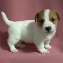 Cute and adorable Jack Russel puppies ready for adoption