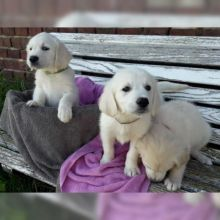 Golden retriever puppies for re-homing