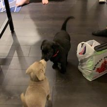lovable, and playful Labrador puppies ready for adoption