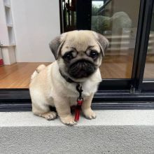 Pure breed Pug puppies for adoption Available
