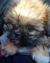 Shitzu puppies for adoption