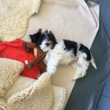 HAVANESE PUPPIES FOR ADOPTOIN