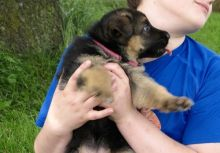 Cute lovely Male and Female German Shepherd Puppies for adoption